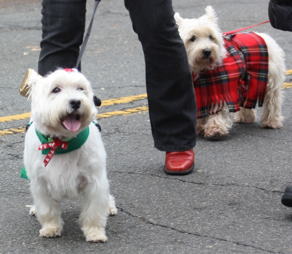 Scottish Parade Westies