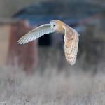 Barn Owl December 08, 201497.jpg
