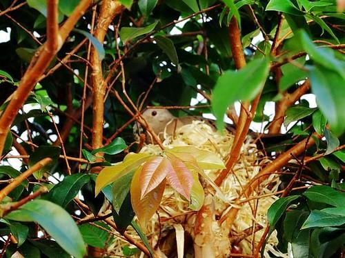 Cute bird nesting in the tree of my backyard in Brazil.