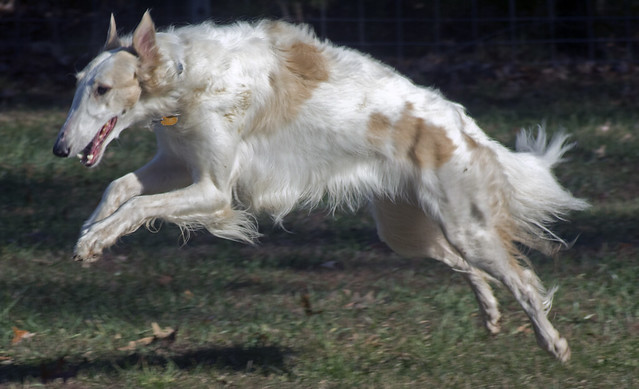 Borzoi Pictures and In...