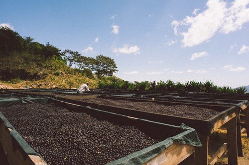 Moving coffees to ensure even drying