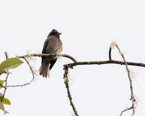 11-5-14 Smoke-colored Pewee - Ecuador Day 2-337.jpg