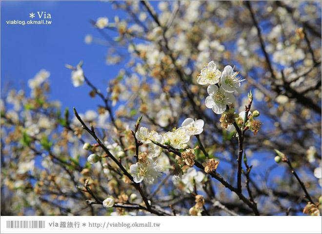 【南投梅花秘境】仁愛鄉「西伯梅園」~和互助國小梅園來個賞梅一日遊18