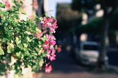 Geranium on film