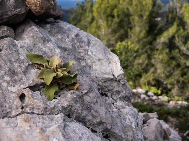 Verbascum sp.