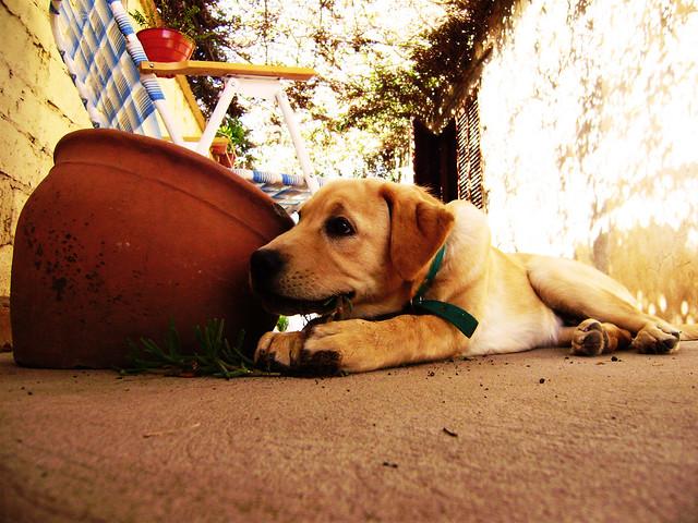 perro cachorro comiendo