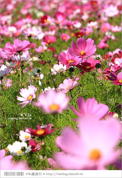 【南新彩繪村】彰化埔鹽/南新立體彩繪村~隱藏版的花海圍繞整村,美景如畫!29