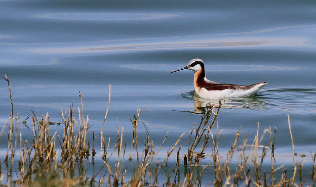Phalarope de Wilson - Willcox Lake/AZ/USA_20140427_036-1