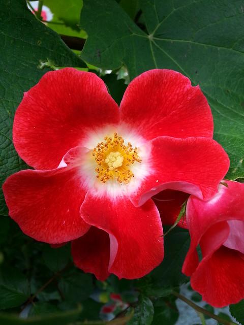 Single petal red rose flickr photo sharing for Individual rose petals