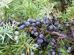Common Juniper (Juniperus communis), Burnham Beeches 012