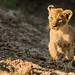 Lion cubs playing by Rob Keulemans