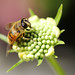 Hoverfly on Scabious bud by Chris Kilpatrick