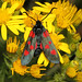 Zygaena trifolii (Five-spot Burnet Moth) - Guernsey