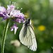 Black veined white (Jon Stokes)