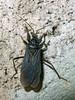 Assasin bug by gadims