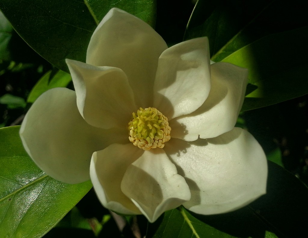 Sweet Bay Magnolia Flower This Is A Macro Image Of The Swe Flickr