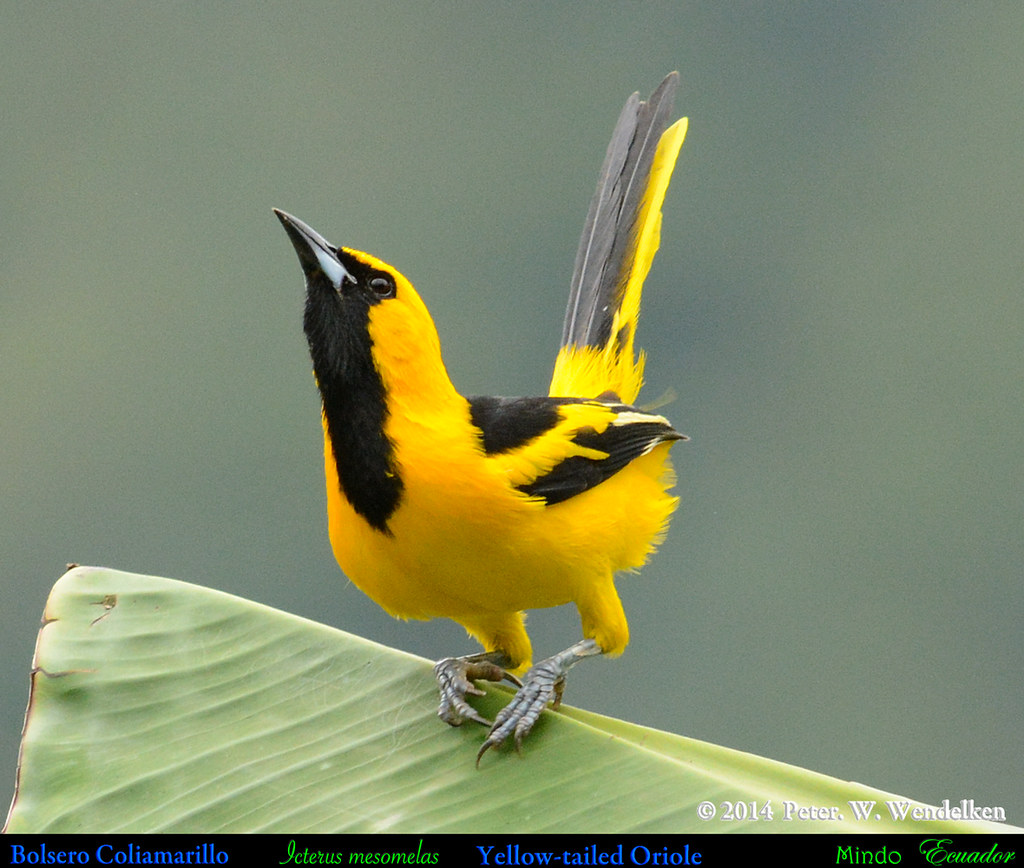 YELLOW-TAILED ORIOLE Icterus mesomelas Male Displaying on Banana Leaf in Mindo in Northwestern ECUADOR. Photo by Peter Wendelken.