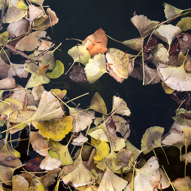 Floating ginkgo leaves