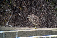 Black-crowned Night-Heron, Red Hill Creek, Hamilton, ON
