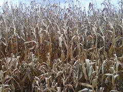 Day 303 - Wilting Wheat