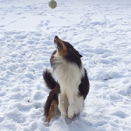 Leaping for the ball #jasper #Sheltie