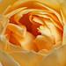Miniature roses #1