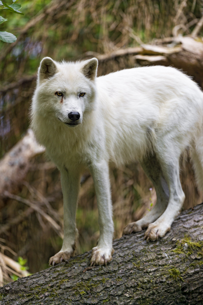 Arctic wolf on the trunk