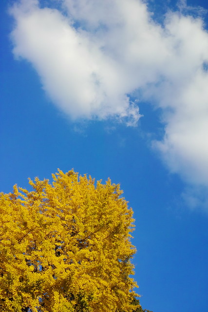 autumn colors ginkgo