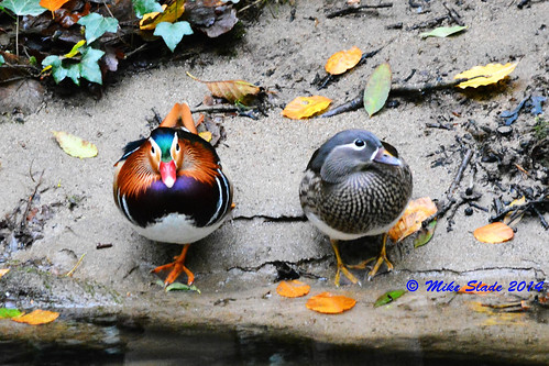 Male & Female Mandarin