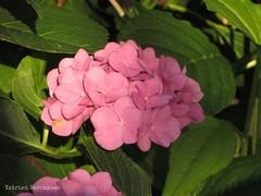 shrub(0.0), hydrangea serrata(0.0), hydrangea(1.0), flower(1.0), busy lizzie(1.0),
