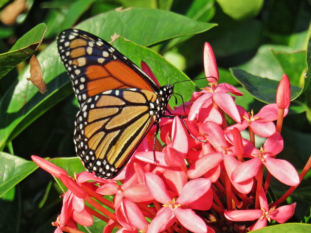 Monarch butterfly PowerShot 20150106