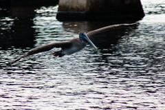 Pelican at Crane Creek