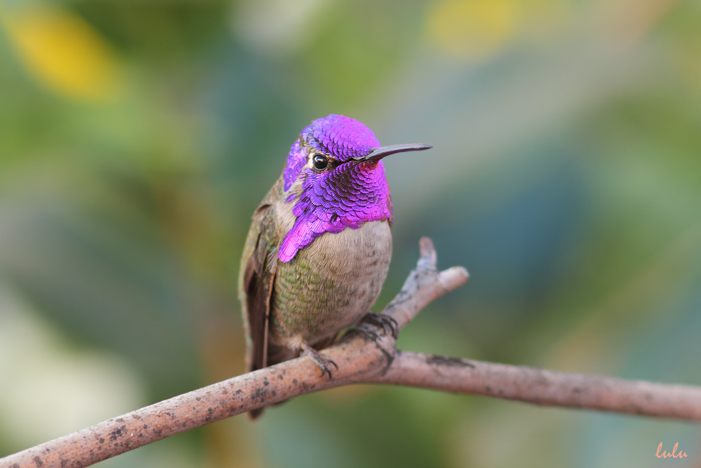 Costa's X Anna's Hybrid Hummingbird 261214