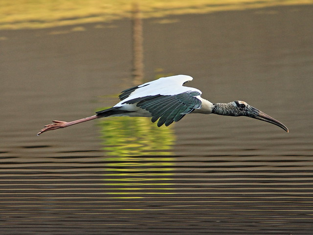 Wood Stork in flight 2-20141229