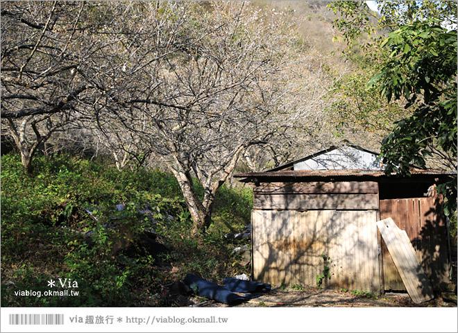 【南投梅花秘境】仁愛鄉「西伯梅園」~和互助國小梅園來個賞梅一日遊23