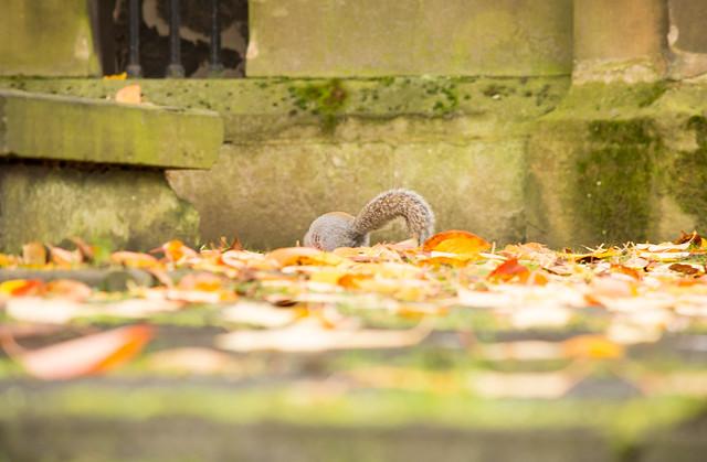 20141016-43_Foraging _ Grey Squirrel_Holy Trinity Church Coventry