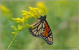 Male Monarch (Danaus plexippus)...