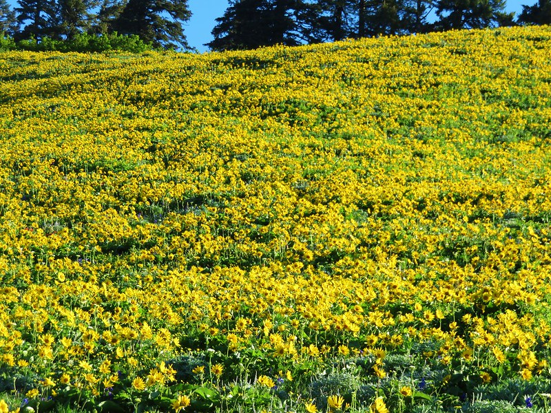 Balsamroot on Dog Mountain