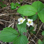Fragaria virginiana, Virginia strawberry
