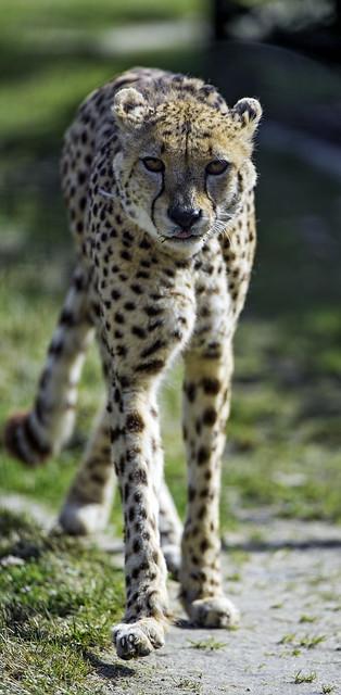 Cheetah walking towards me...