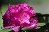 Oleanderblüte-dualiso