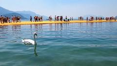 Swans on the lake and Christo
