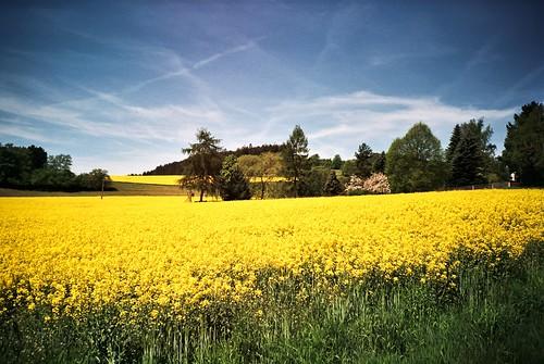 Field of rape in full flower