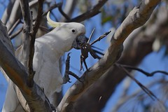 Sulphur -crested Cockatoo