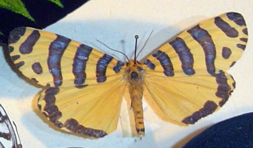 Amphicallia pactolicus 15167979124_9e09b127cb_o