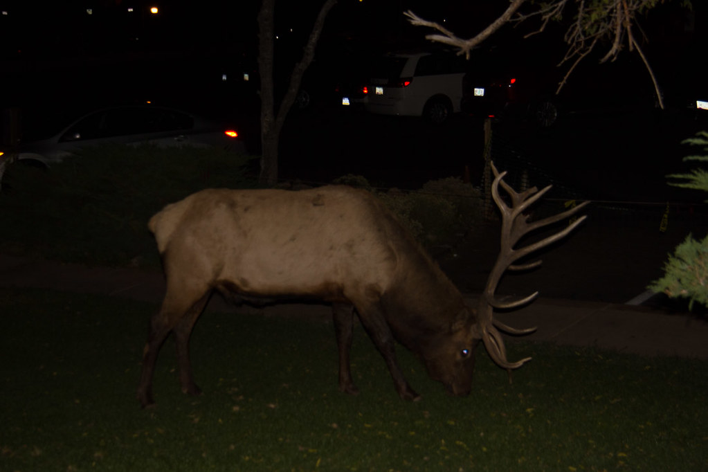 Elk outside Thunderbird Lodge at Grand Canyon