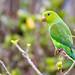 Parrots of Brazil