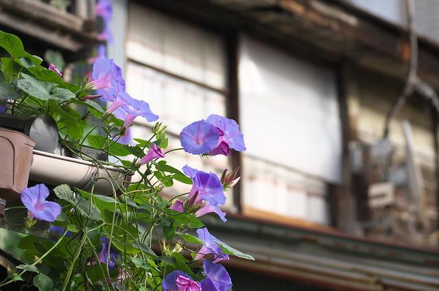 東京路地裏散歩 谷中のアサガオ 2014年11月3日