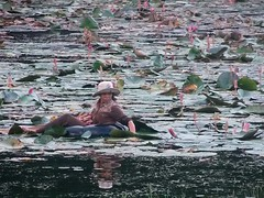 #7275 woman picking water lilies (スイレン)