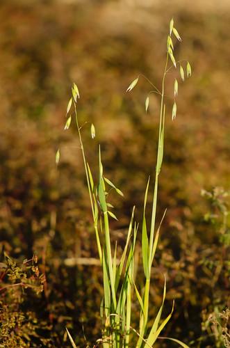 oats poaceae monocots avenasativa